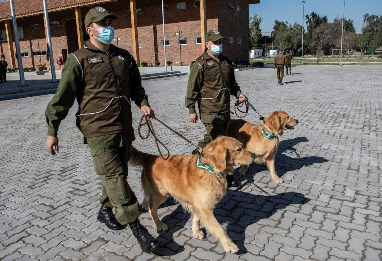Believe it or not: Dogs can sniff out Covid-19 carriers