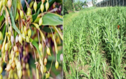 Gov't pushes for adlai as new solution to hunger