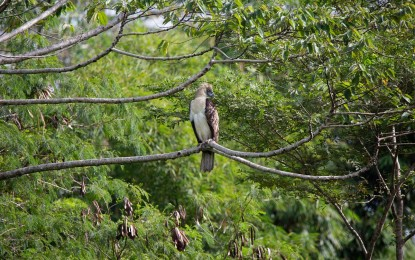 Report distressed Philippine Eagles to PNP, PA