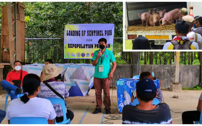 90 sentinel hogs distributed in ASF-hit villages in NoCot